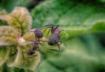 мравката