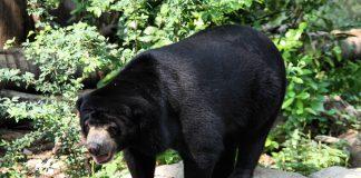 Слънчева мечка