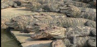 алигатори