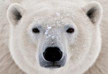 Polar_Bear_head