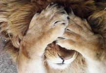 Lion_cry
