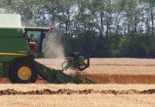 пшеницата
