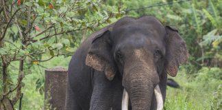 Elephant Large