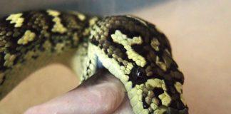 Python eating
