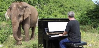 Слонове, пианист