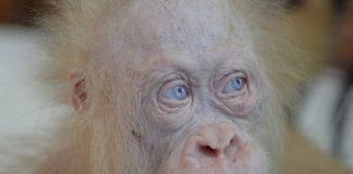 орангутан, албинос