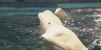 бял кит