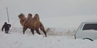 камила, кола