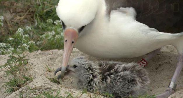 албатрос, Уиздъм, пиле