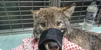 вълк, спасен
