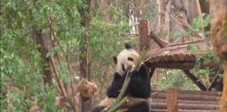 китайски панди