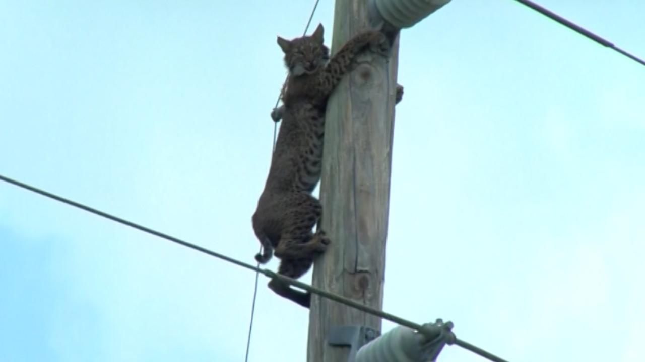 дива котка