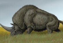 древен носорог