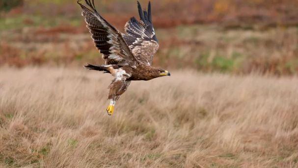 степен орел