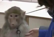 маймуна, телефон