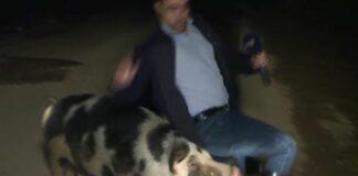 свиня, репортер