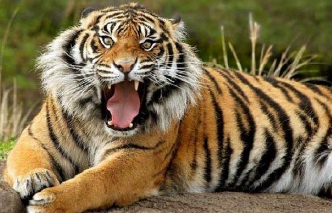 суматрански тигър