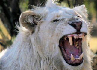 бял лъв