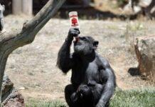 маймуни, алкохол, еволюция