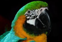 зелена амазона