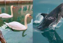 Венеция, делфини, лебеди