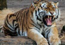 тигър, зоопарк