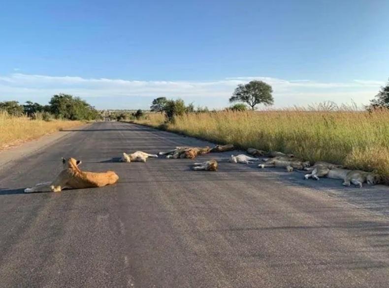 лъвове, Южна Африка