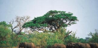 слонове Ботсвана