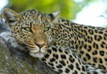 леопард роди в къща на фермер