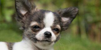 куче, чихуахуа, темперамент