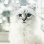 котка Лагерфелд