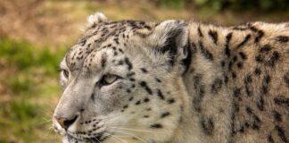 зоопарк, барс, снежен леопард