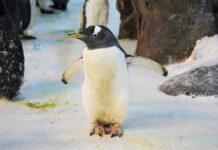 Пингвинът Олде