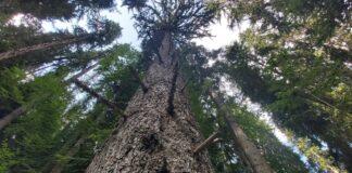 най-високото дърво, смърч